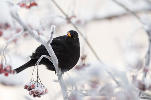 blackbird-5810073_1920